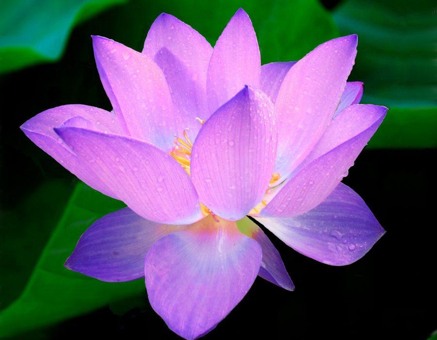 lotus-215460_1920